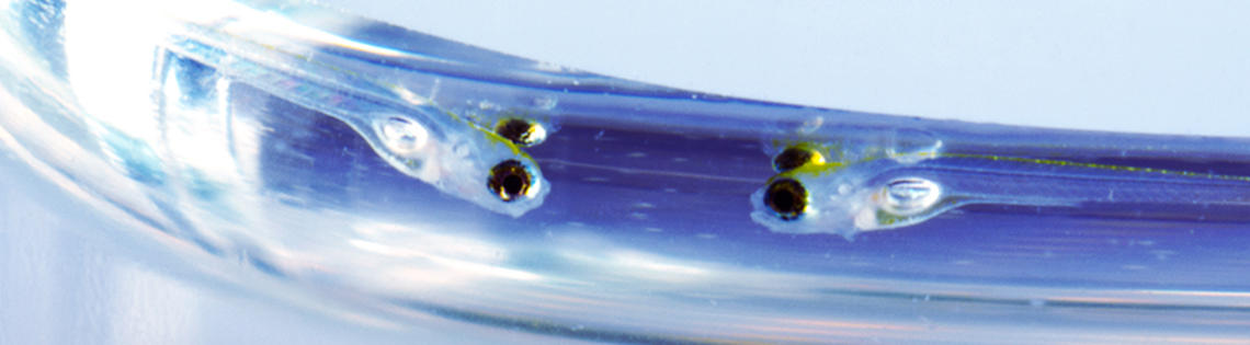 6-day-old zebrafish swim near water's surface