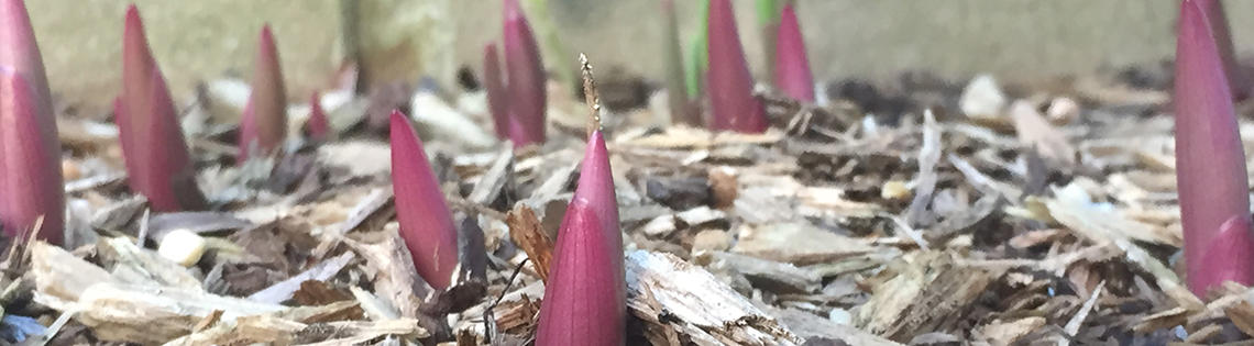 A flower is sprouting in between shreds of mulch
