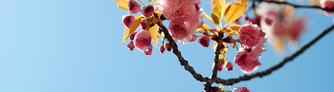 Crab apple tree flowers at NIH