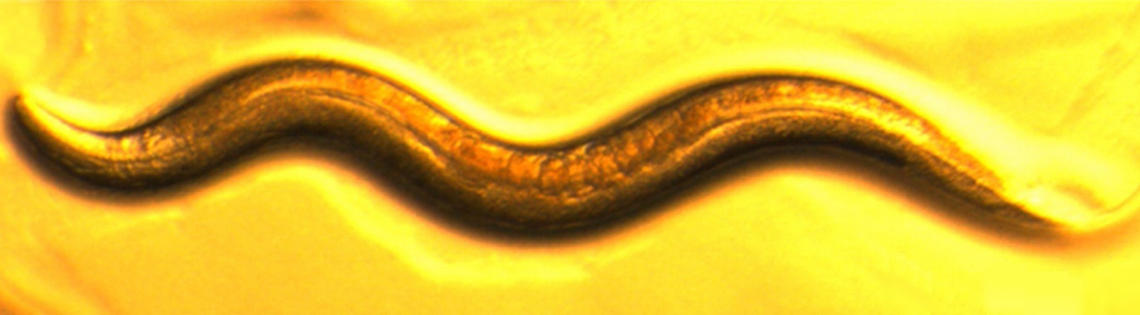 A brown worm on a yellow background