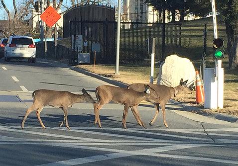 Three deer cross street on campus.