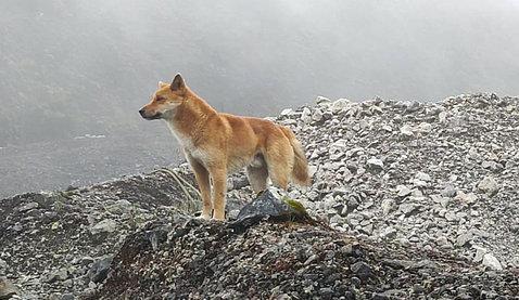 A Highland Wild Dog