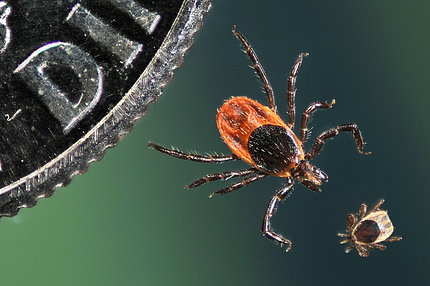 An adult and nymphal tick next to a coin