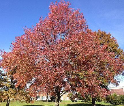 American sweetgum tree, in autumn