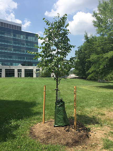 Behind the Natcher Bldg., a young tree is staked, tagged, water-bagged and ready to flourish.