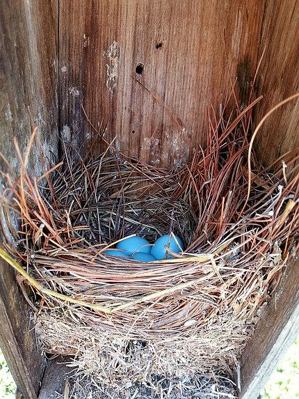 Four bluebird eggs in a nest