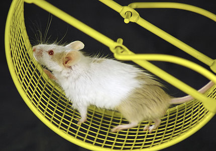 A white mouse runs on a yellow exercise wheel.
