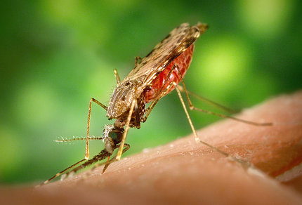 A mosquito takes a blood meal.