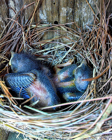 Baby bluebirds huddle together in a nest.