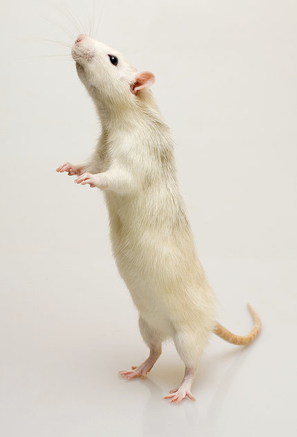 A white mouse stands on his hind legs.