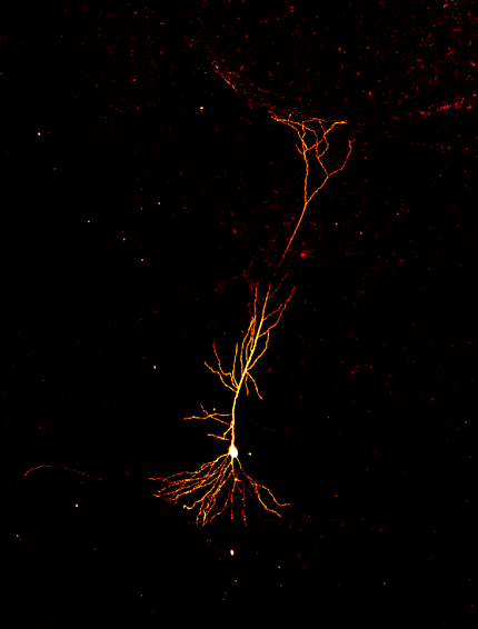 A golden-colored line with dendrites flaring out, against a black background