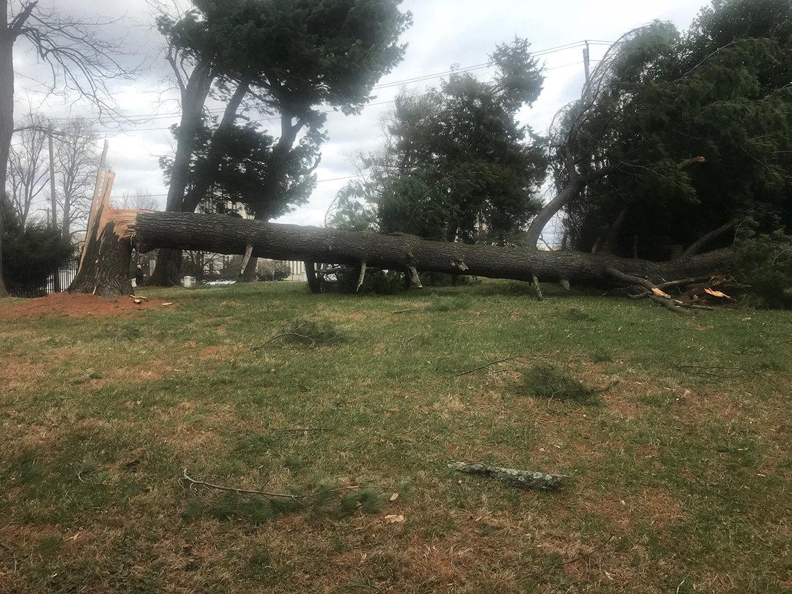 A fallen white pine tree.