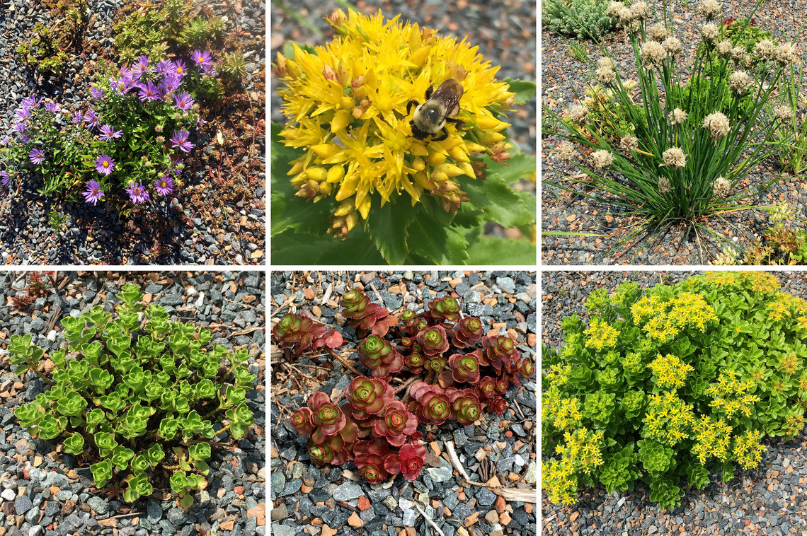 Plants that have thrived in the campus's newest green roof environment.