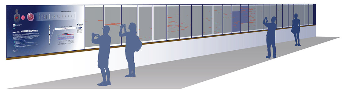 A rendering of the genome exhibit in the 4B corridor of bldg. 31, which features 24 wall panels of genome letters, only a fraction of each human genome's 3 billion bases.