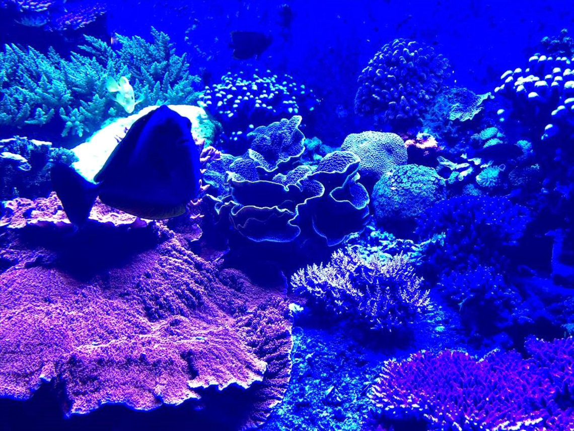 A vibrant blue photo shows purple and blue coral and fish in an aquarium.