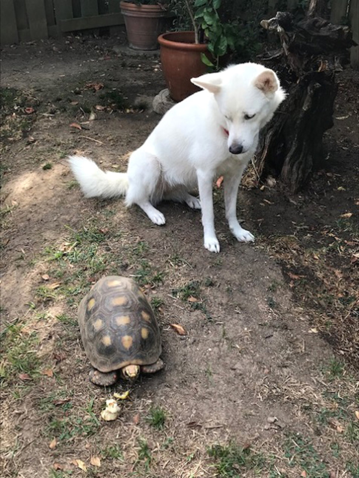 A dog looks at a turtle