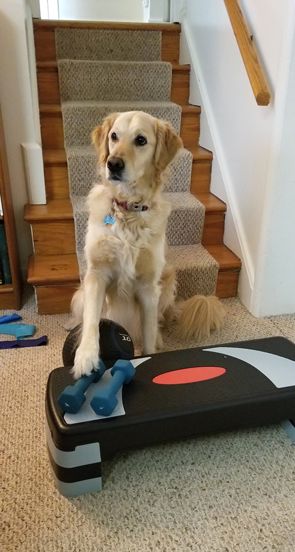 The dog has one paw on dumbbells