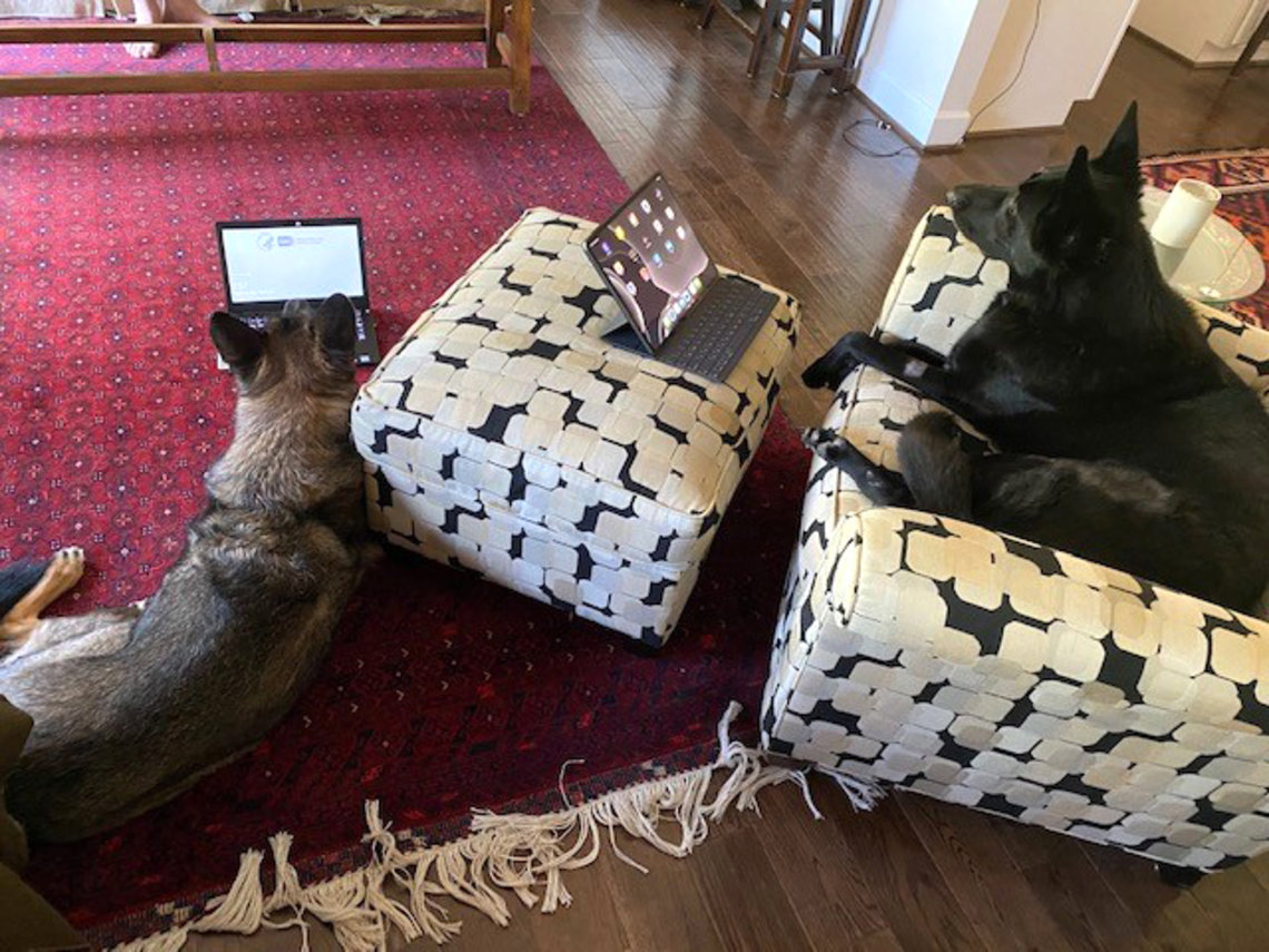 Two dogs look at laptops