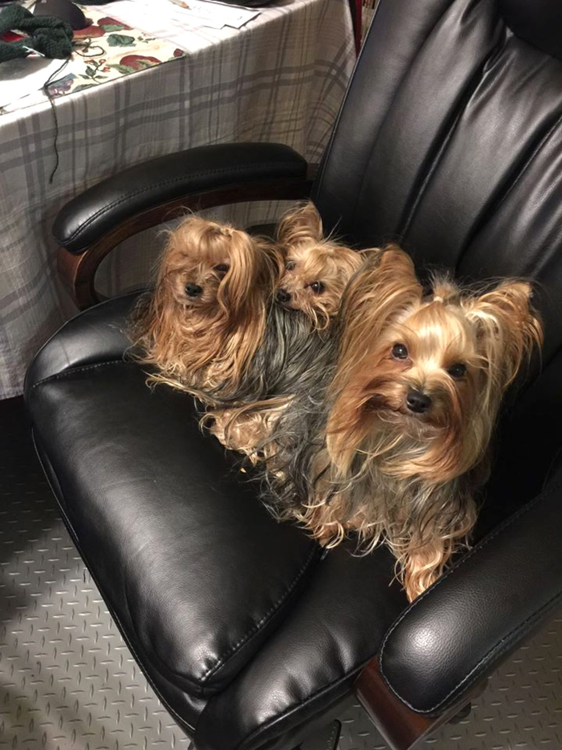 Three dogs sit in an office chair