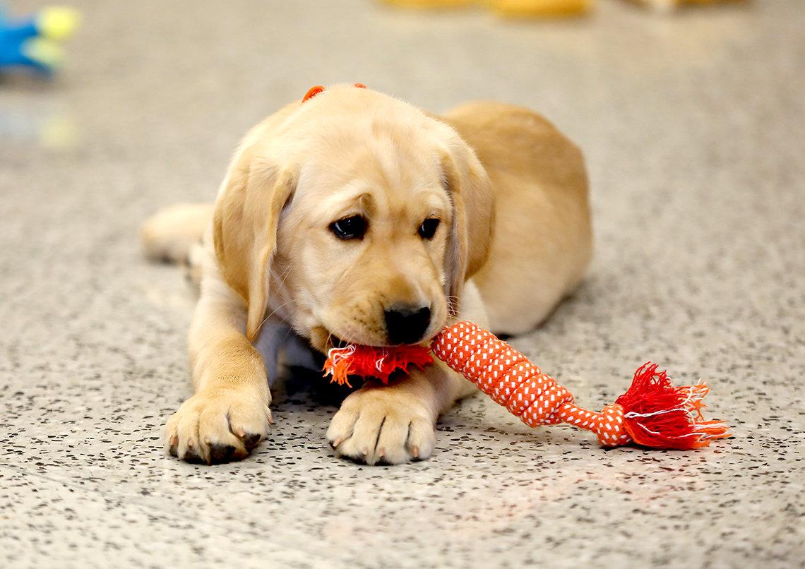 Puppy chews toy.