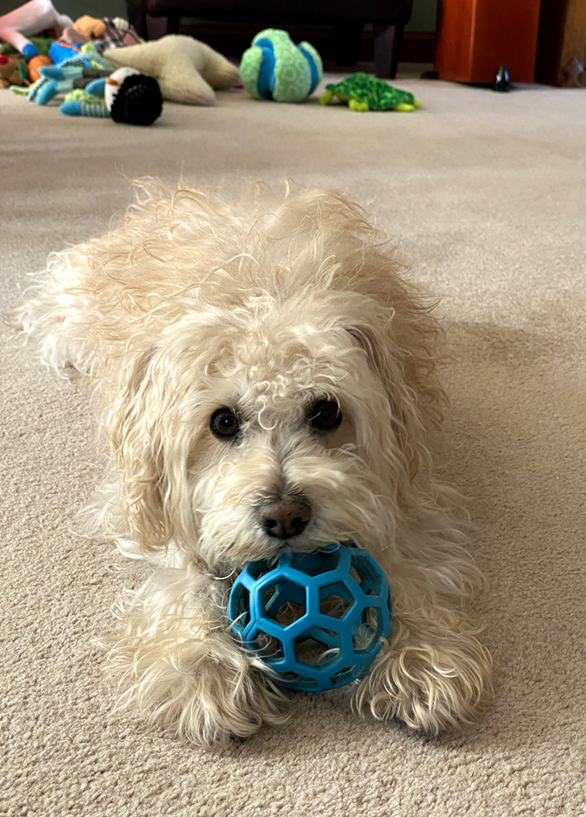White dog with blue ball in his mouth looks into camera.