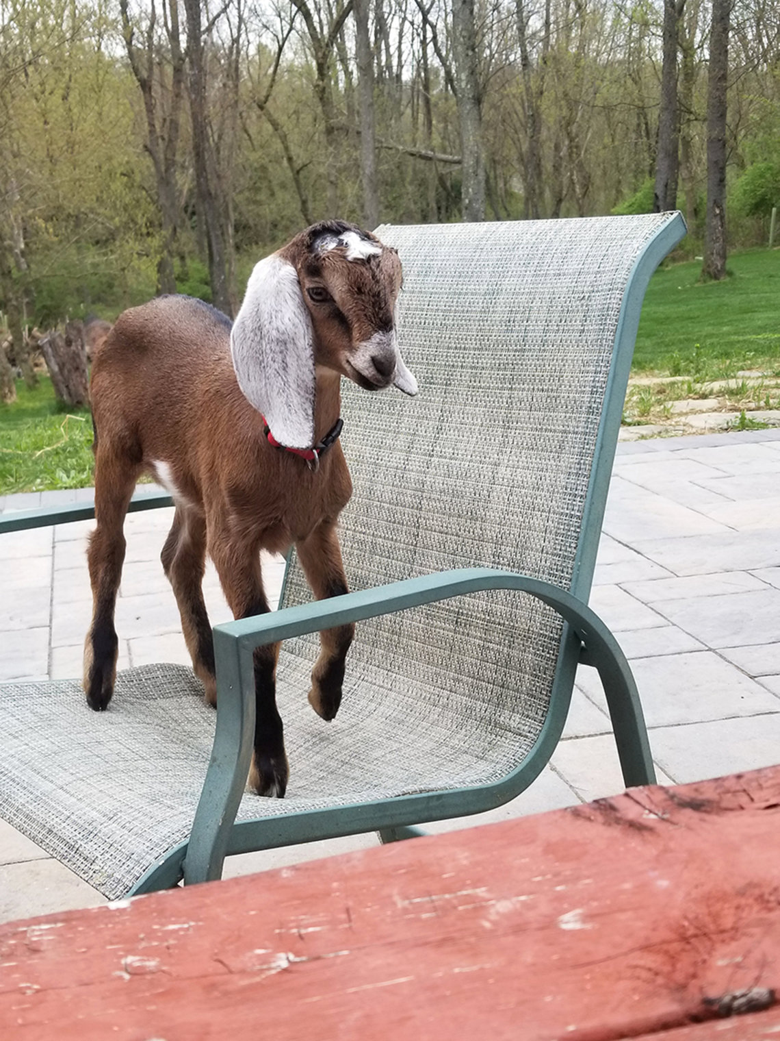 Goat stands on patio chair