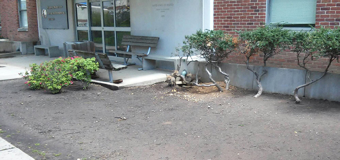 Three foxes near a den