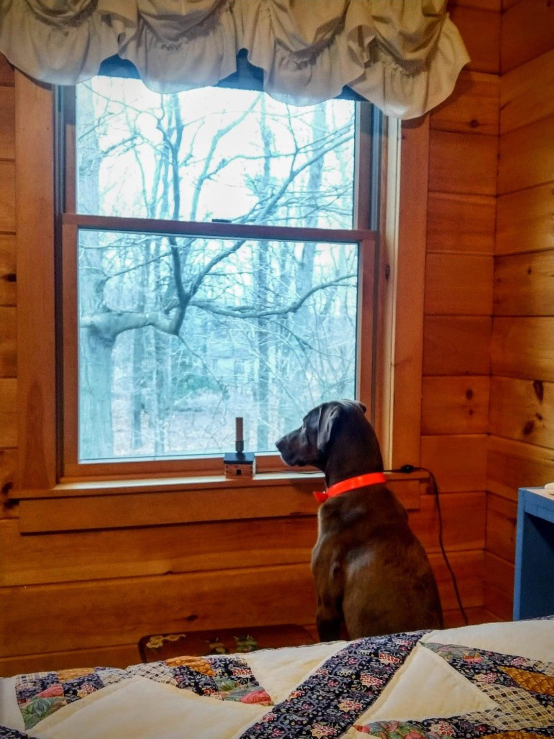Dog looks out window.