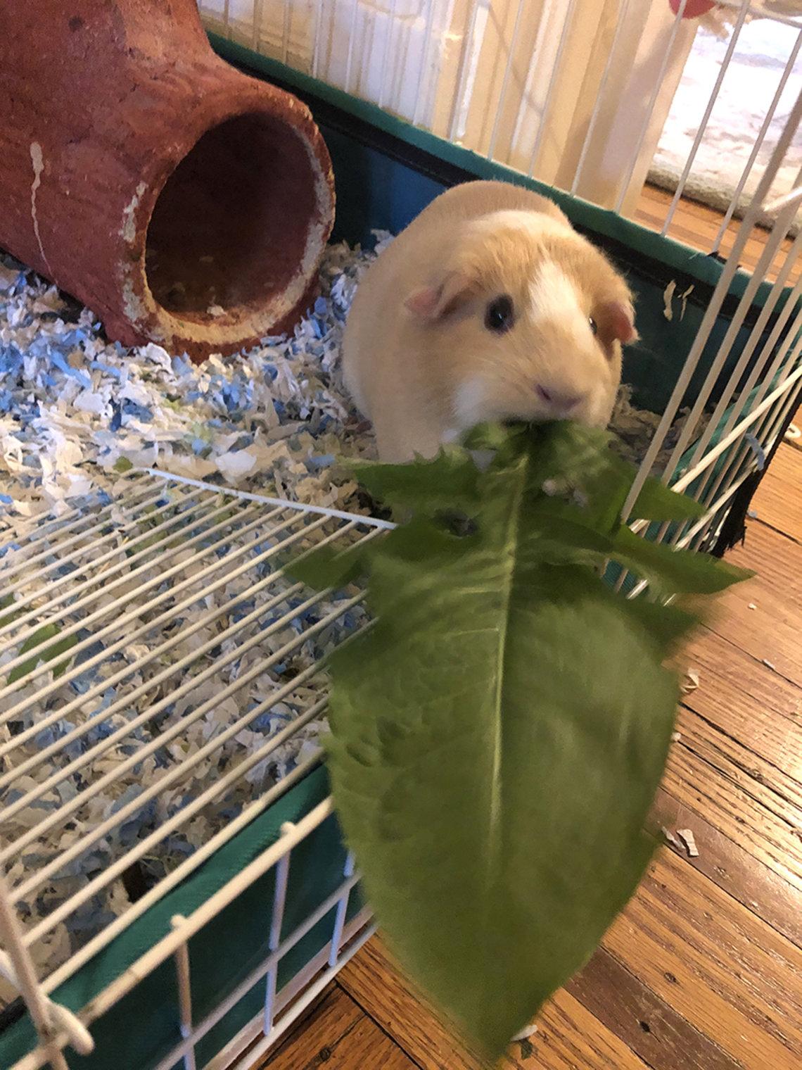 Guinea pig eats a leaf.