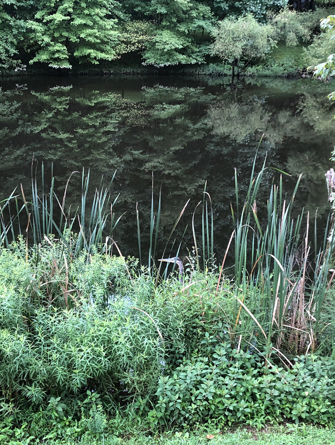 Heron hides among vegetation by the edge of water