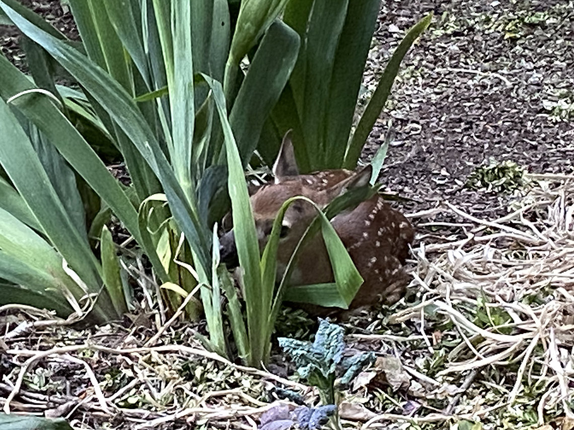 A fawn peers out from tall grass in Bell's backyard.