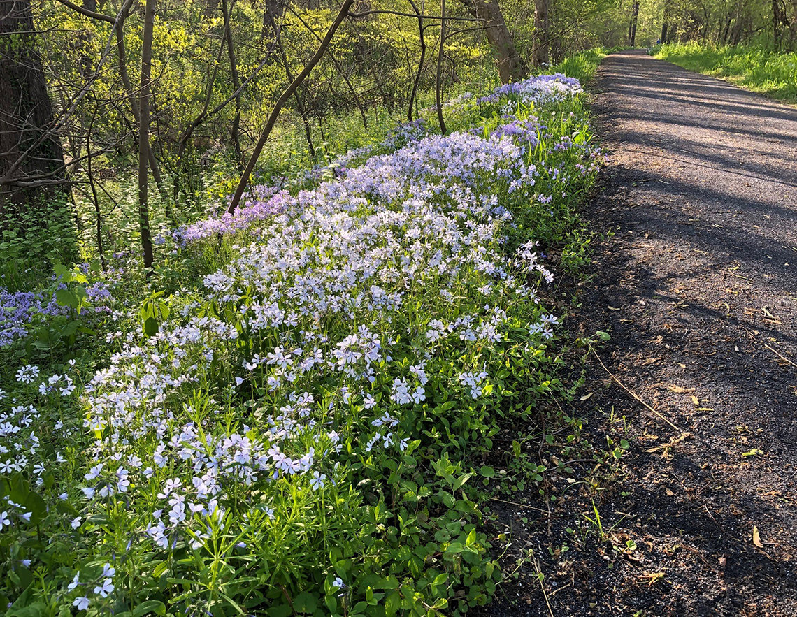 White flowers line a towpath in Maryland.