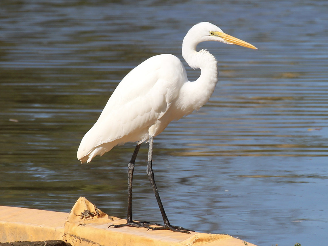 Great egret, standing at waterfront