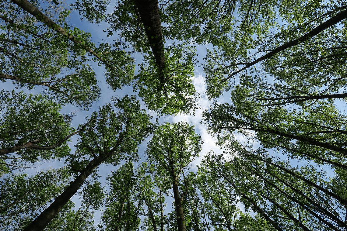 Tall trees viewed from below against a blue sky
