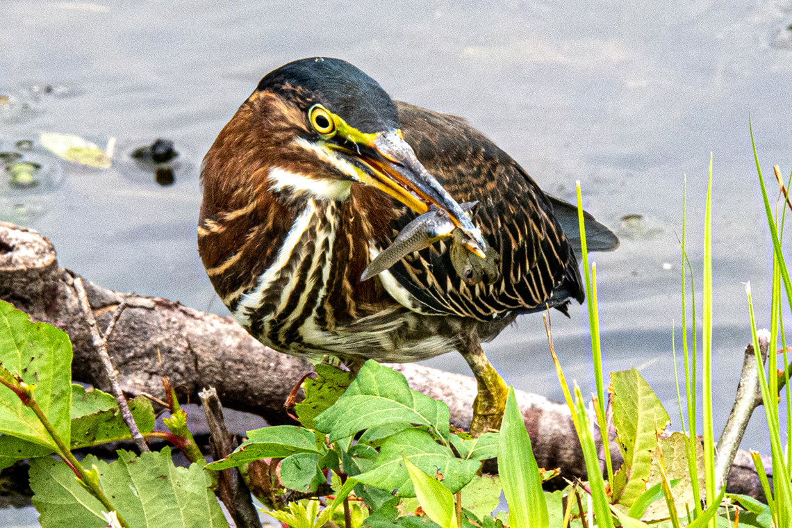 A brown and white striped bird holds a fish in his mouth.