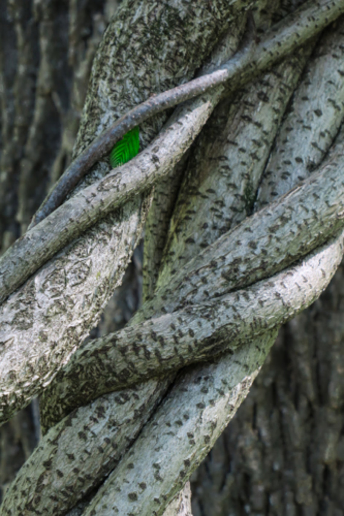 A tiny green leaf sits inside the knotted branches of a tree.