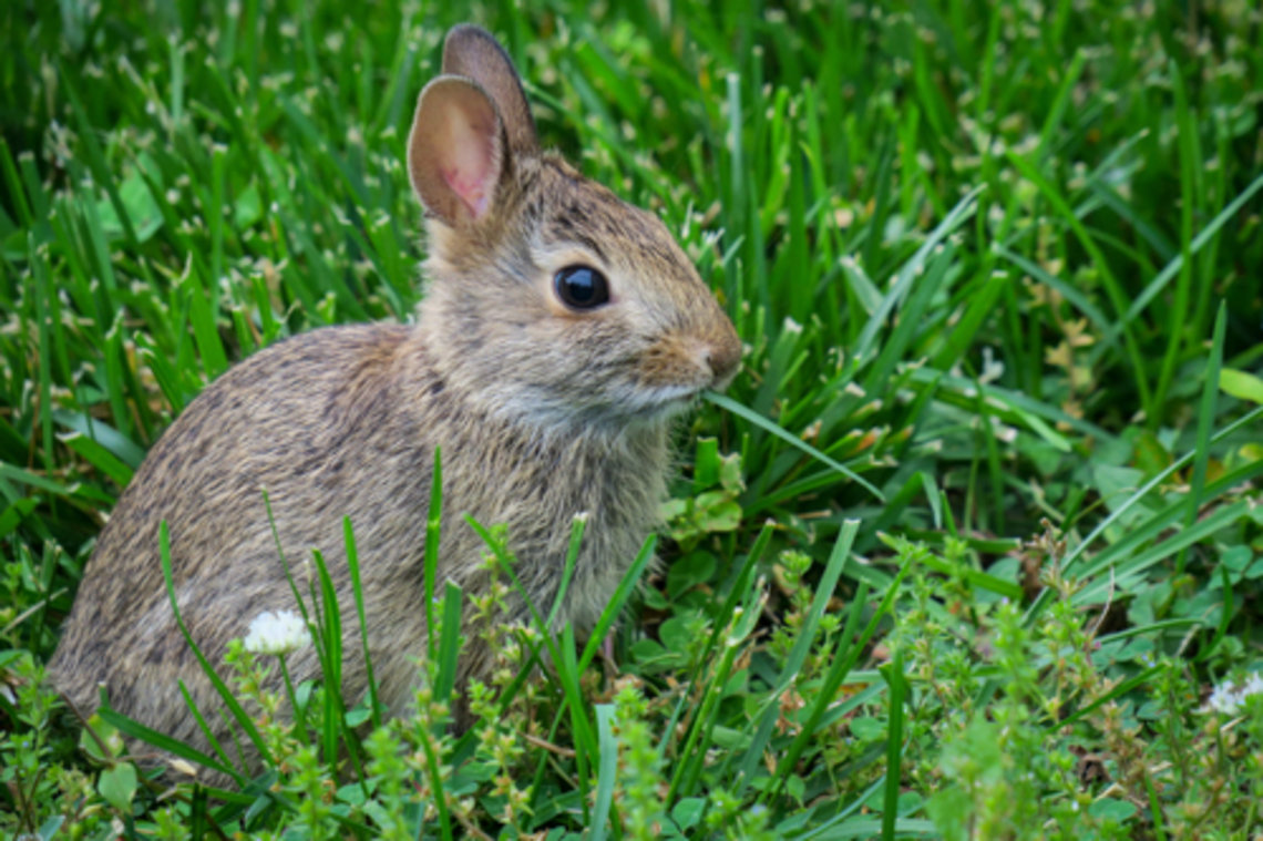 A bunny sits in the grass