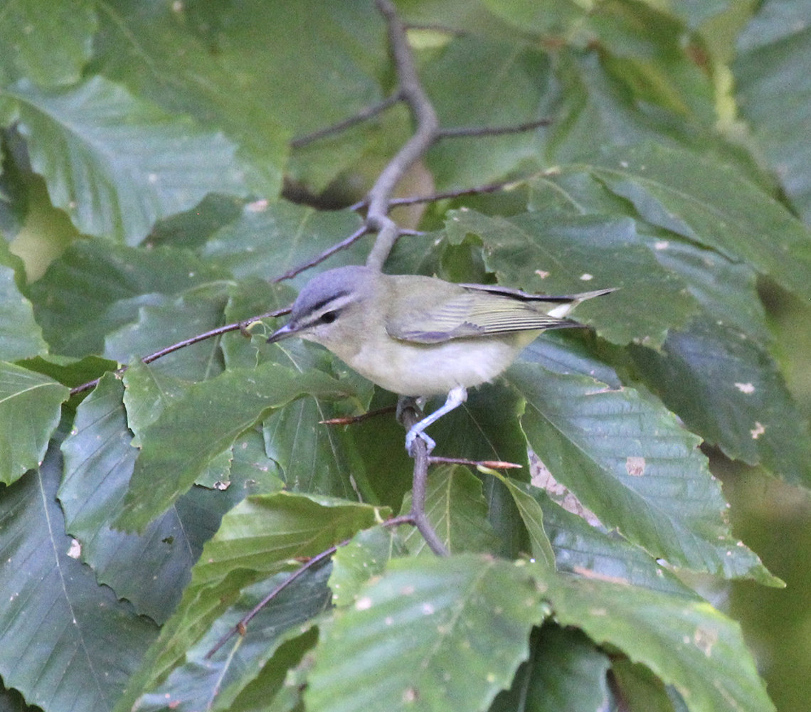 Red-eyed vireo sits on a branch with leaves