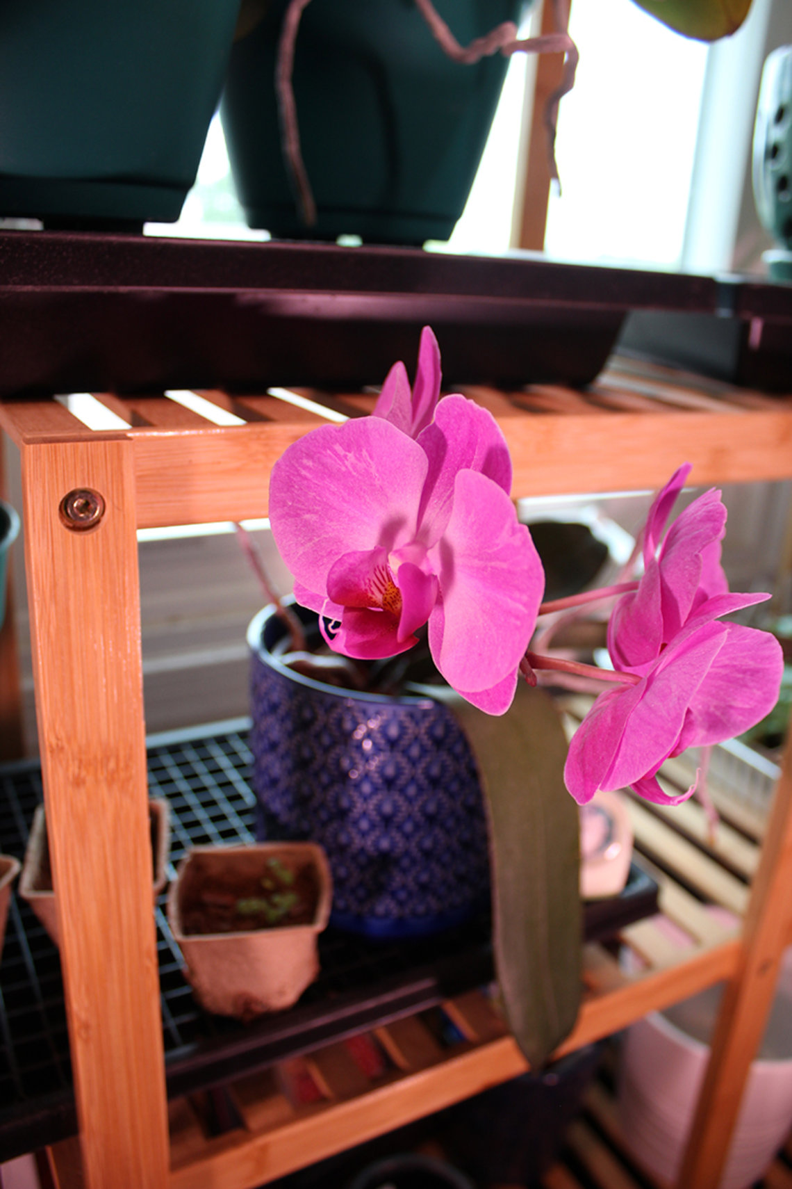 A pink phalaenopsis blossoms.