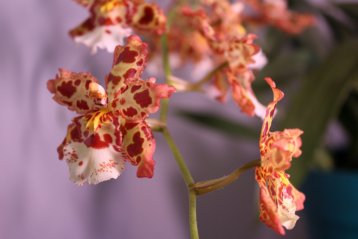 Oncostele blooms in yellow and cream with pink and red splotches.