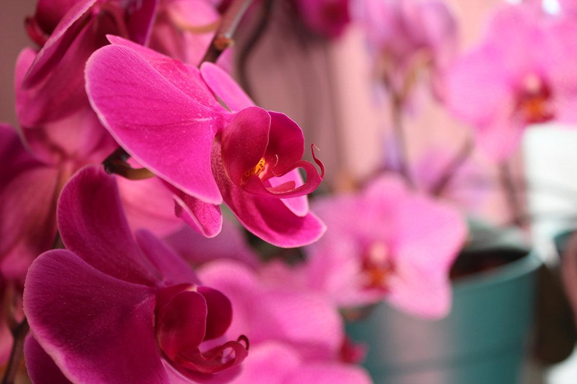 Magenta moth orchid in bloom