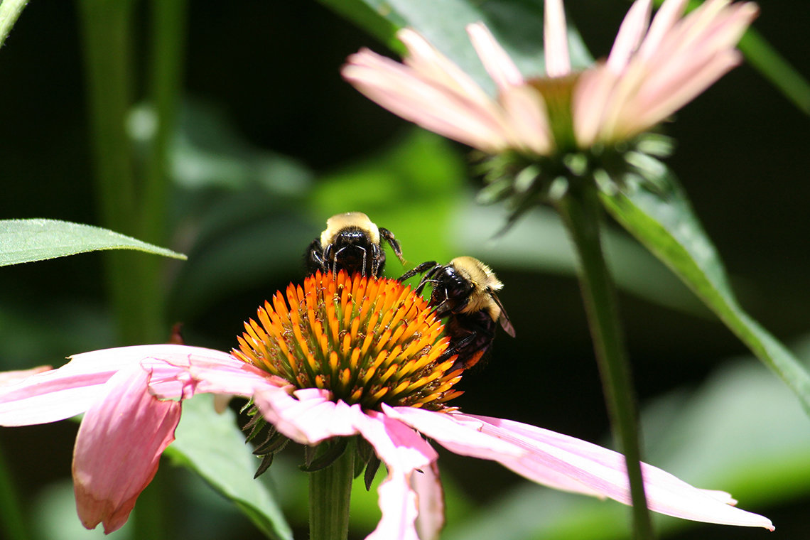 Closeup view of two bees atop a flower