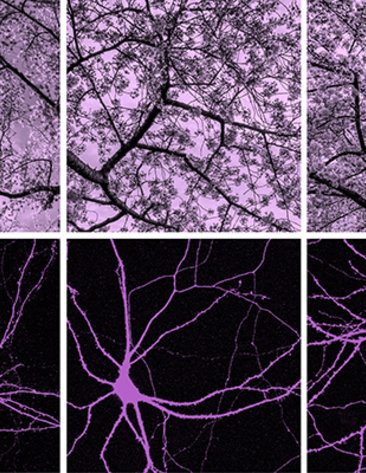 A web of purple neurons on a black background below images of blossoming cherry tree branches against a lavender sky