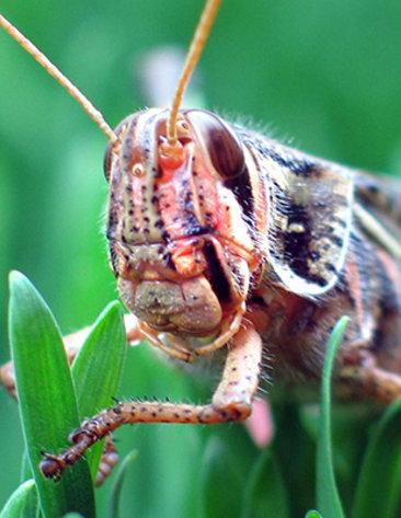 Image of locust