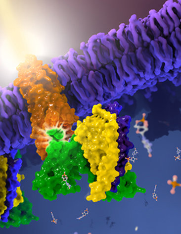 Structure of the light-sensing G protein-coupled receptor rhodopsin.