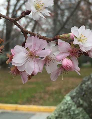 Autumn cherry tree blooms in December.