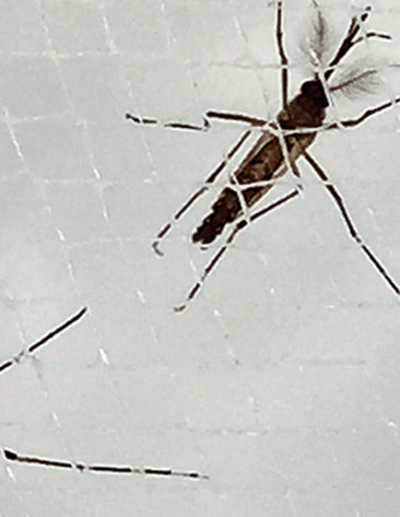 A male and a female mosquito in a net.