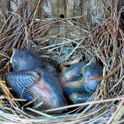 Two baby bluebirds sit in a nesting box