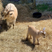 Luo spotted this baby goat at Homestead Farm in Poolesville.  PHOTO: JI LUO